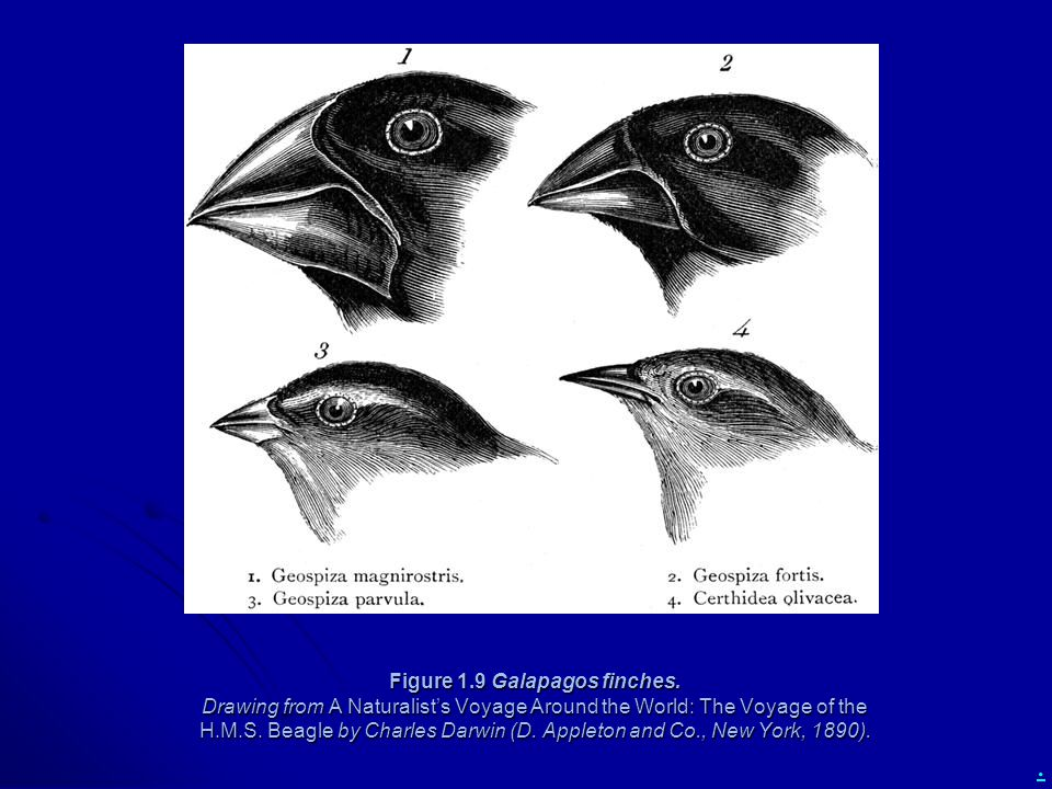 . Figure 1.9 Galapagos finches. Drawing from A Naturalist's Voyage Around the World: The Voyage of the H.M.S. Beagle by Charles Darwin (D. Appleton an