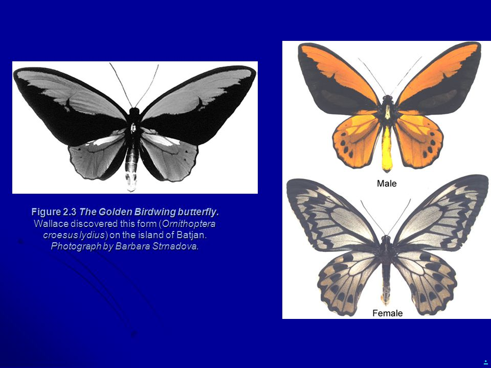 . Figure 2.3 The Golden Birdwing butterfly. Wallace discovered this form (Ornithoptera croesus lydius) on the island of Batjan. Photograph by Barbara
