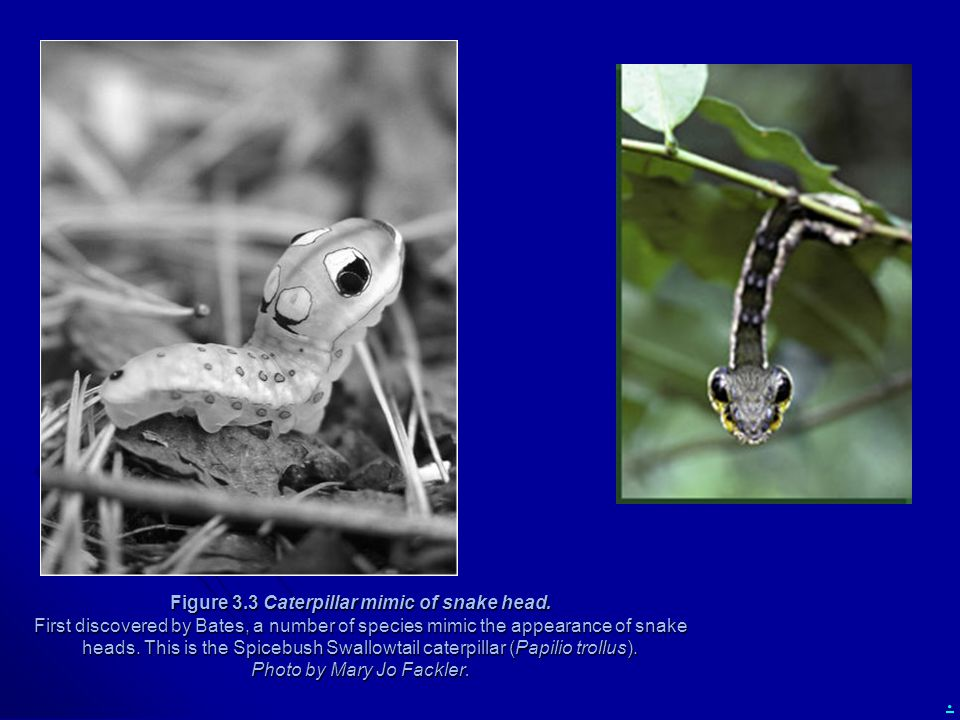 . Figure 3.3 Caterpillar mimic of snake head. First discovered by Bates, a number of species mimic the appearance of snake heads. This is the Spicebus