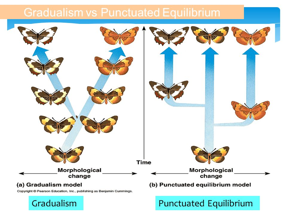 B. Punctuated Equilibrium  Speciation occurs relatively quickly, rapid bursts  Niles Eldredge, Stephen J. Gould V. Rates of Speciation