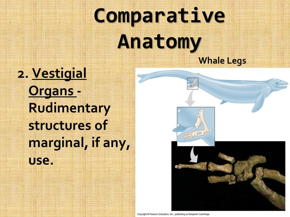 Comparative Anatomy 2. Vestigial Organs - Rudimentary structures of marginal, if any, use.