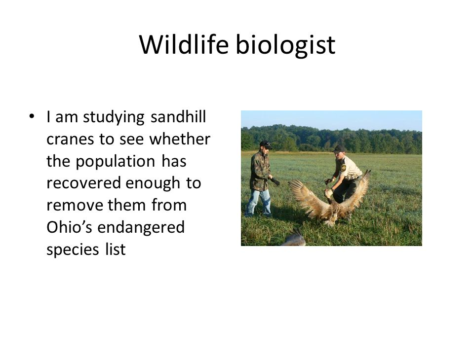 Wildlife biologist I am studying sandhill cranes to see whether the population has recovered enough to remove them from Ohio's endangered species list