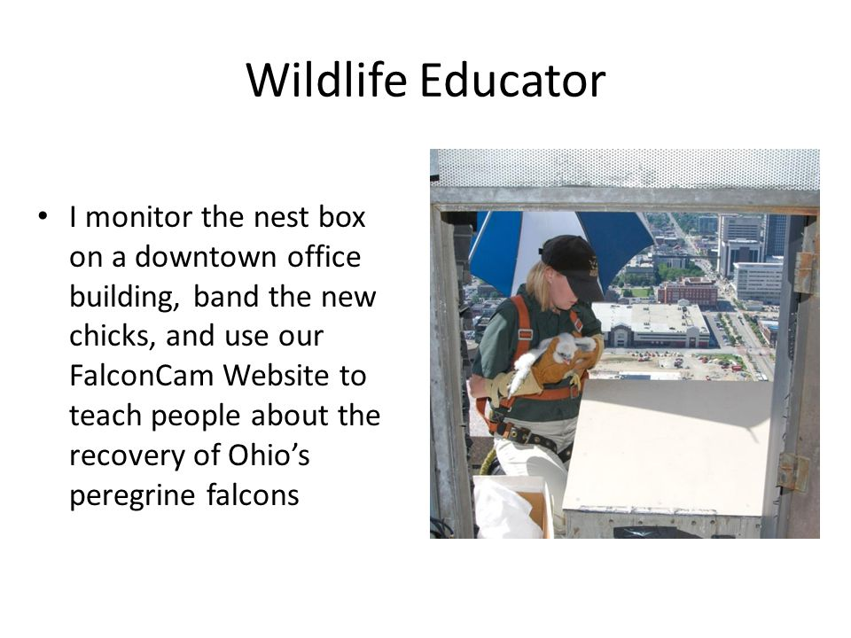 Wildlife Educator I monitor the nest box on a downtown office building, band the new chicks, and use our FalconCam Website to teach people about the r