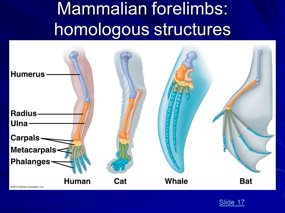 Mammalian forelimbs: homologous structures Slide 17