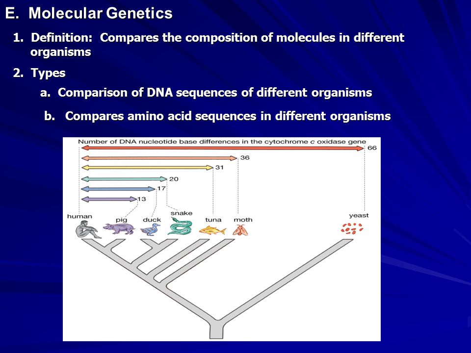 E. Molecular Genetics 1. Definition: Compares the composition of molecules in different organisms 2. Types a. Comparison of DNA sequences of different