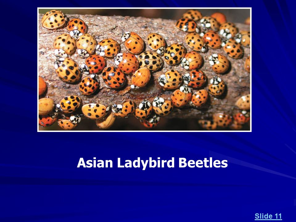 Asian Ladybird Beetles Slide 11