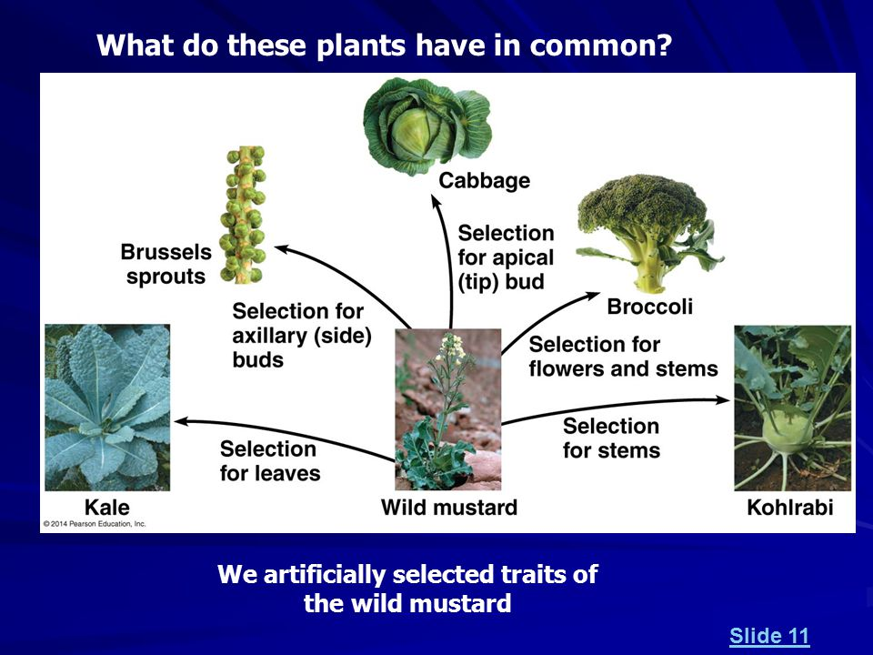 What do these plants have in common We artificially selected traits of the wild mustard Slide 11