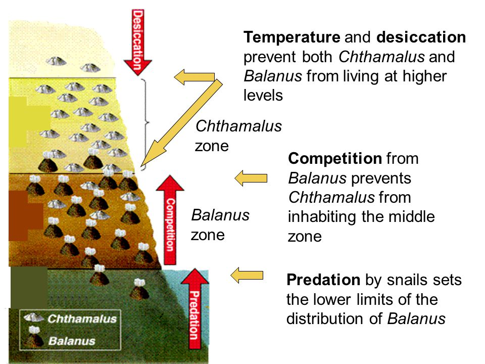 Temperature and desiccation prevent both Chthamalus and Balanus from living at higher levels Competition from Balanus prevents Chthamalus from inhabiting the middle zone Predation by snails sets the lower limits of the distribution of Balanus Balanus zone Chthamalus zone