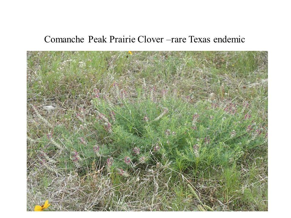 Comanche Peak prairie clover flowers