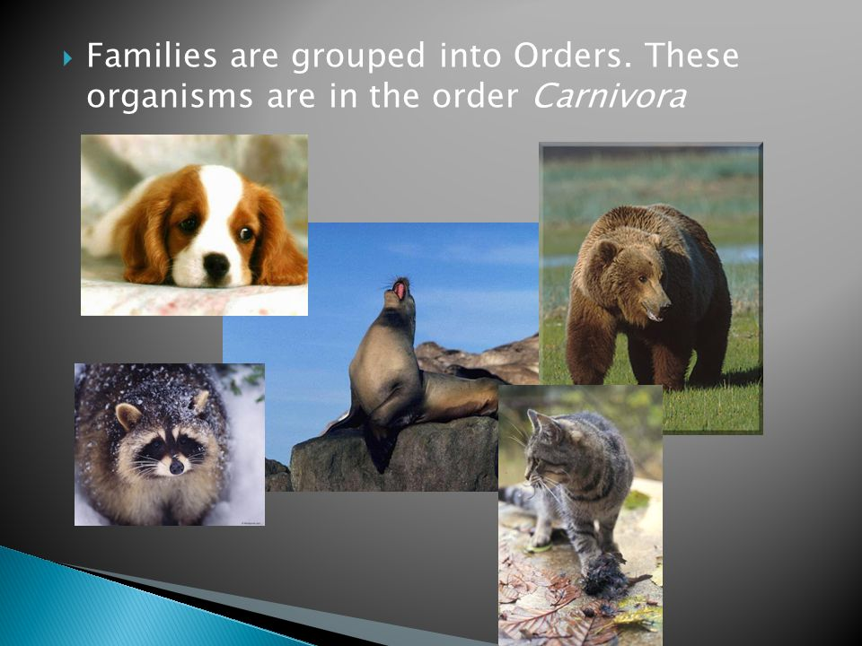  Families are grouped into Orders. These organisms are in the order Carnivora