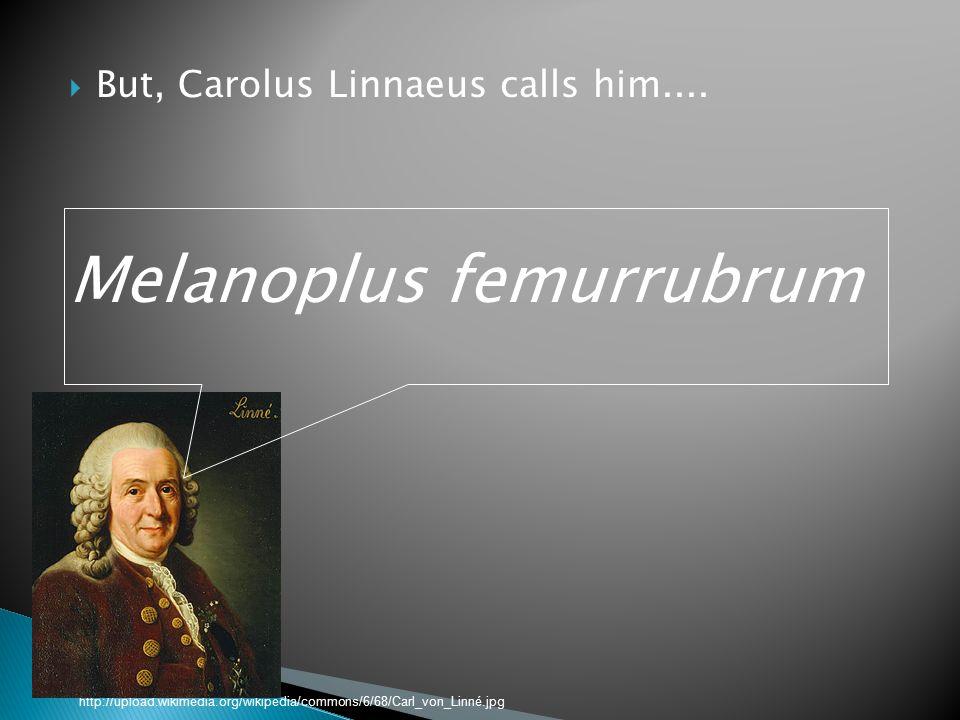  But, Carolus Linnaeus calls him....