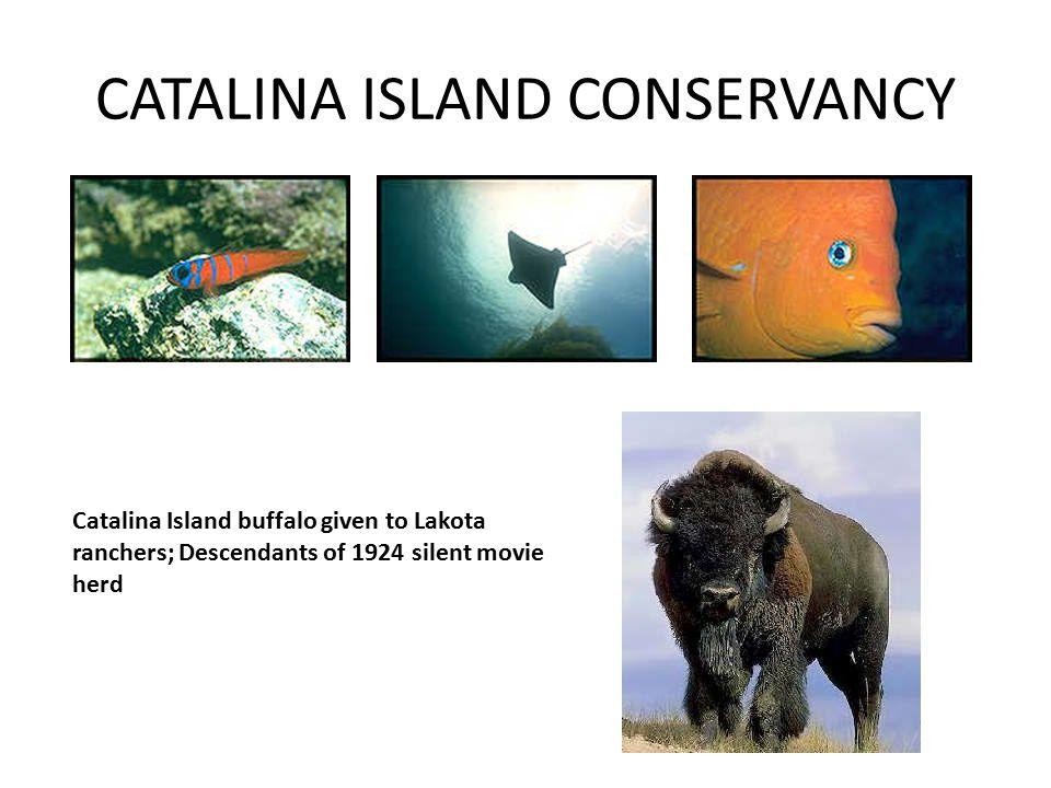 CATALINA ISLAND CONSERVANCY Catalina Island buffalo given to Lakota ranchers; Descendants of 1924 silent movie herd