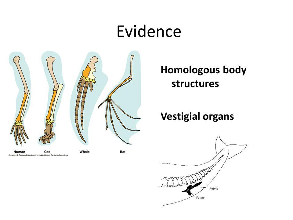 Evidence Homologous body structures Vestigial organs