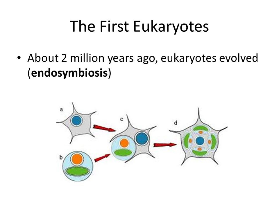 The First Eukaryotes About 2 million years ago, eukaryotes evolved (endosymbiosis)