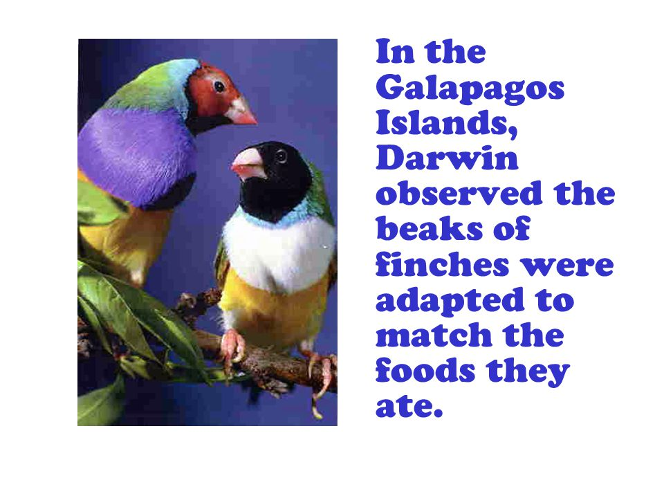 In the Galapagos Islands, Darwin observed the beaks of finches were adapted to match the foods they ate.