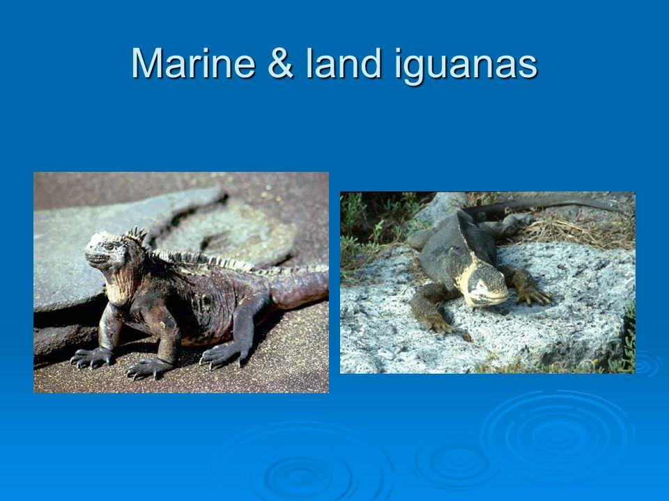 Marine & land iguanas