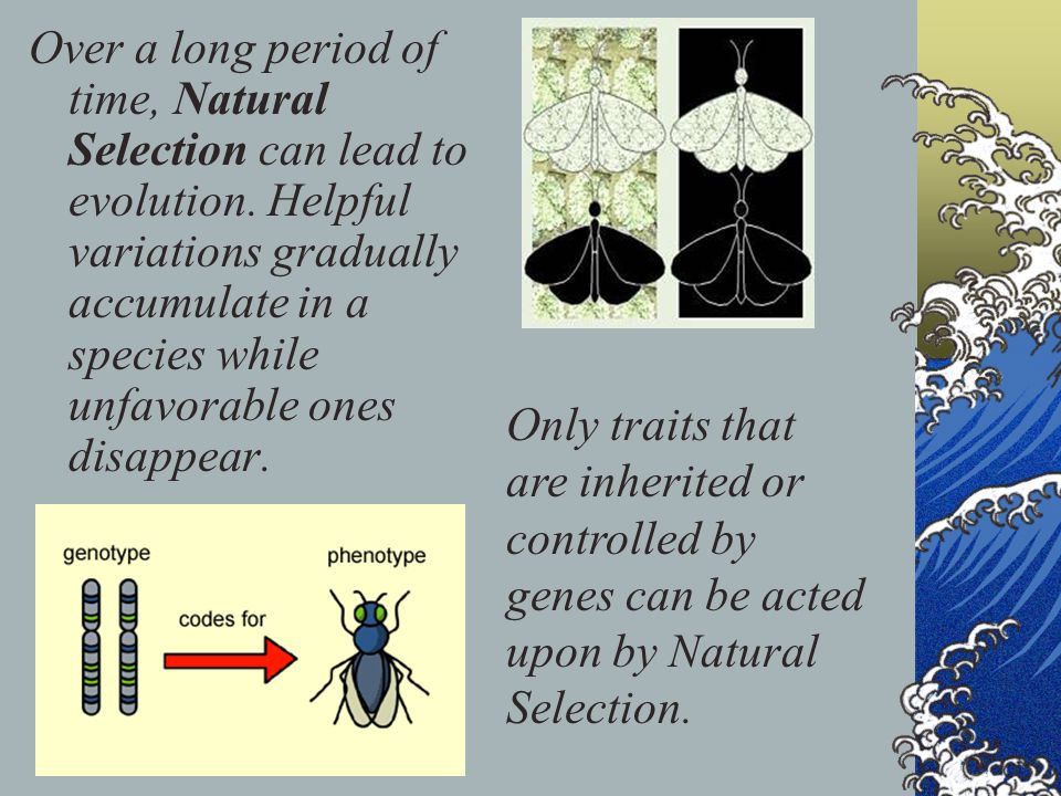 Over a long period of time, Natural Selection can lead to evolution. Helpful variations gradually accumulate in a species while unfavorable ones disap