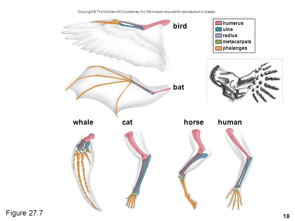 18 humerus ulna phalanges whalehuman bird bat cathorse radius metacarpals Copyright © The McGraw-Hill Companies, Inc.