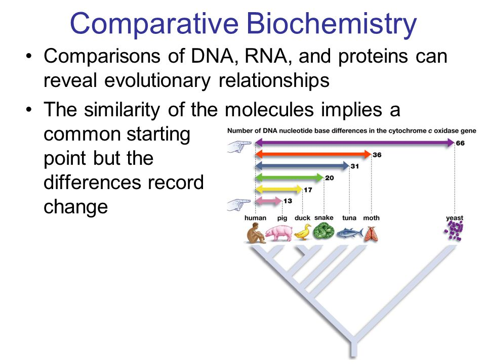 21 Comparative Biochemistry Comparisons of DNA, RNA, and proteins can reveal evolutionary relationships The similarity of the molecules implies a common starting point but the differences record change