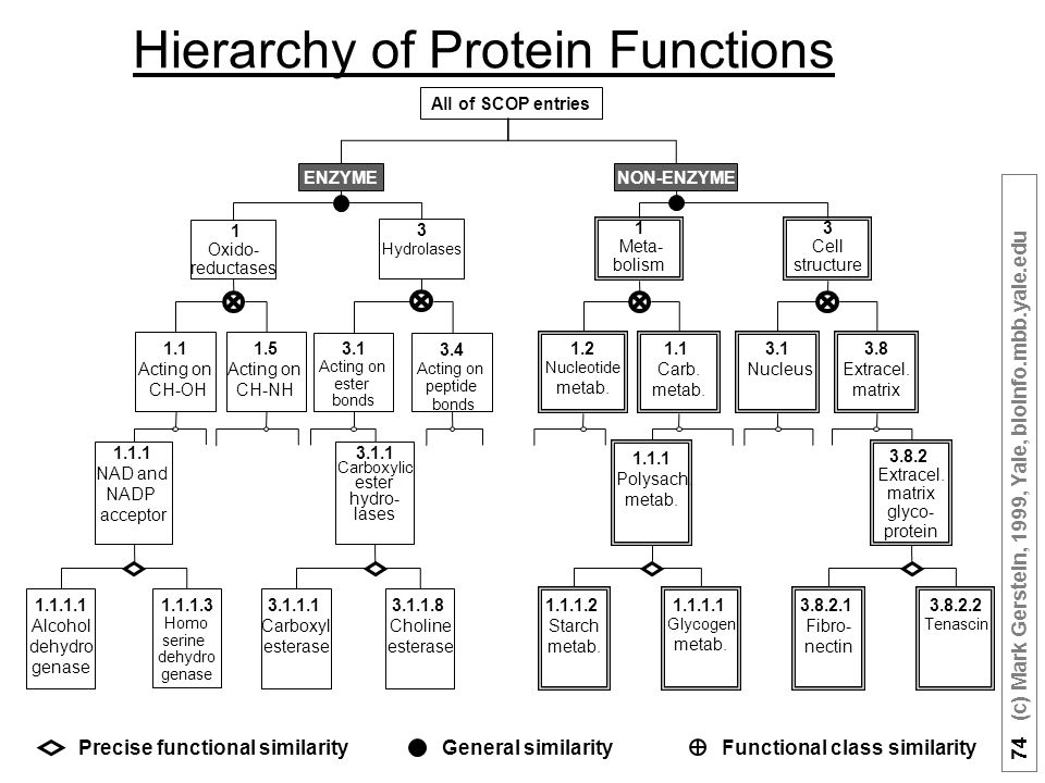 74 (c) Mark Gerstein, 1999, Yale, bioinfo.mbb.yale.edu Hierarchy of Protein Functions