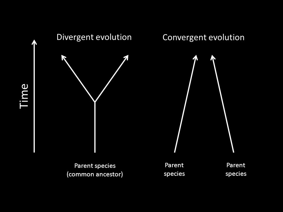 Time Parent species (common ancestor) Parent species Divergent evolution Convergent evolution