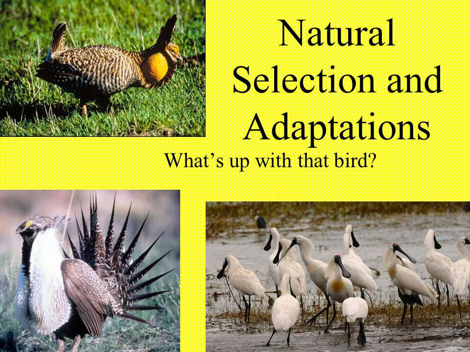 Natural Selection and Adaptations What's up with that bird?