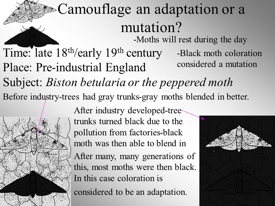 Camouflage an adaptation or a mutation? Time: late 18 th /early 19 th century Place: Pre-industrial England Subject: Biston betularia or the peppered