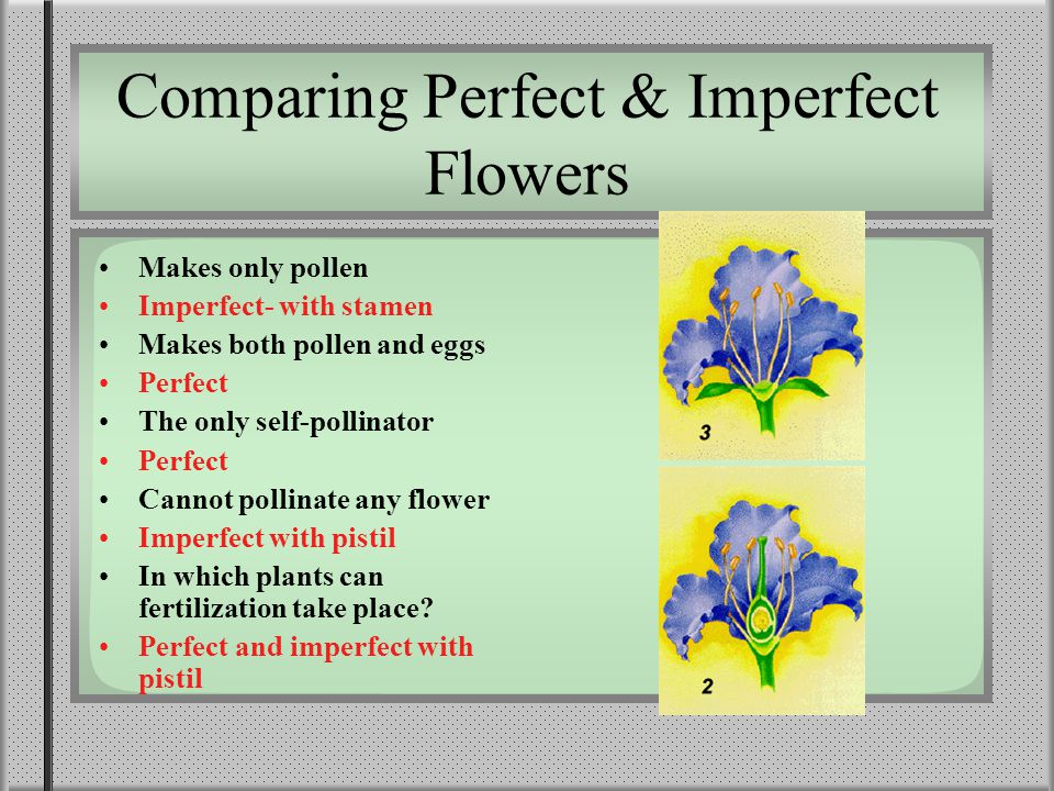 Comparing Perfect & Imperfect Flowers Makes only pollen Imperfect- with stamen Makes both pollen and eggs Perfect The only self-pollinator Perfect Cannot pollinate any flower Imperfect with pistil In which plants can fertilization take place.