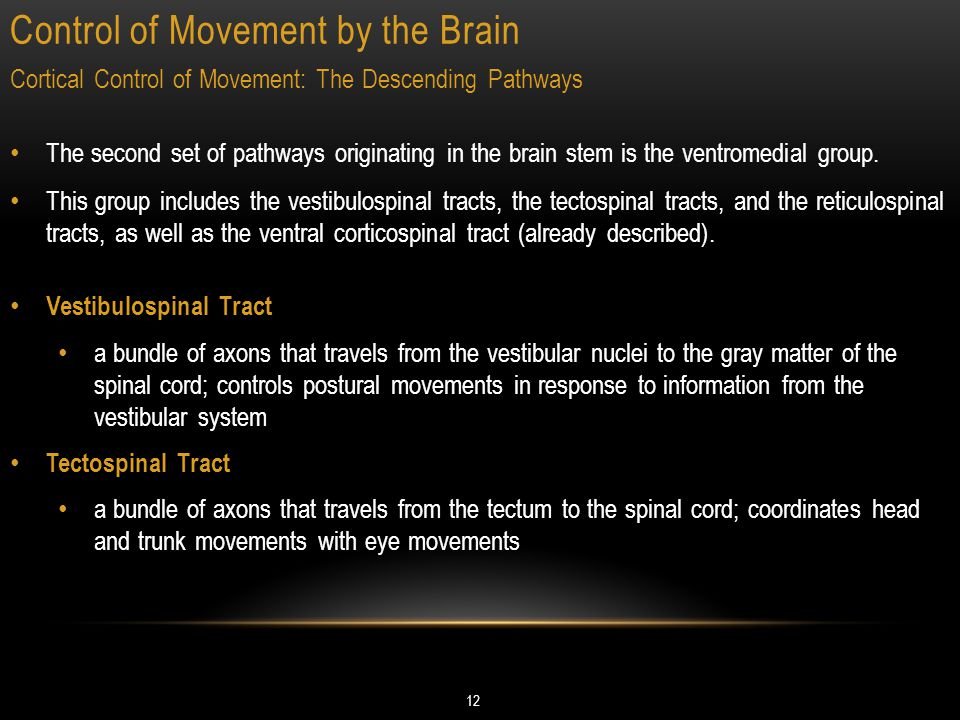 Control of Movement by the Brain 12 Cortical Control of Movement: The Descending Pathways The second set of pathways originating in the brain stem is the ventromedial group.