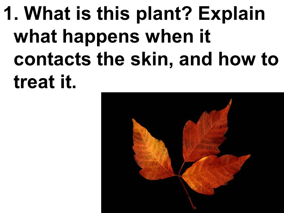 1. What is this plant? Explain what happens when it contacts the skin, and how to treat it.