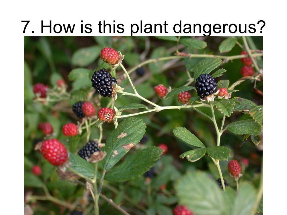 7. How is this plant dangerous