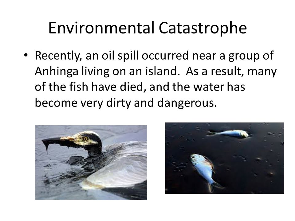 Environmental Catastrophe Recently, an oil spill occurred near a group of Anhinga living on an island. As a result, many of the fish have died, and th