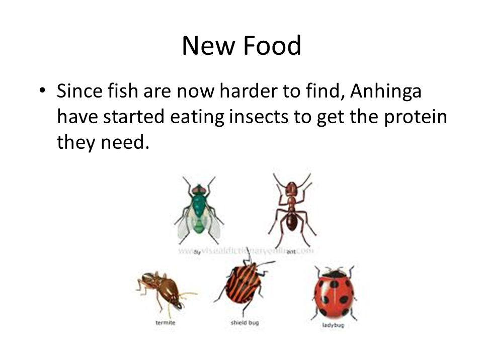 New Food Since fish are now harder to find, Anhinga have started eating insects to get the protein they need.
