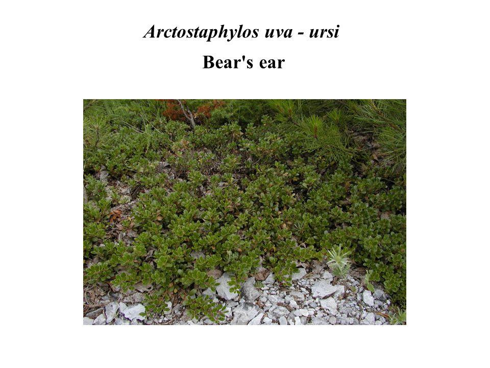 Arctostaphylos uva - ursi Bear s ear