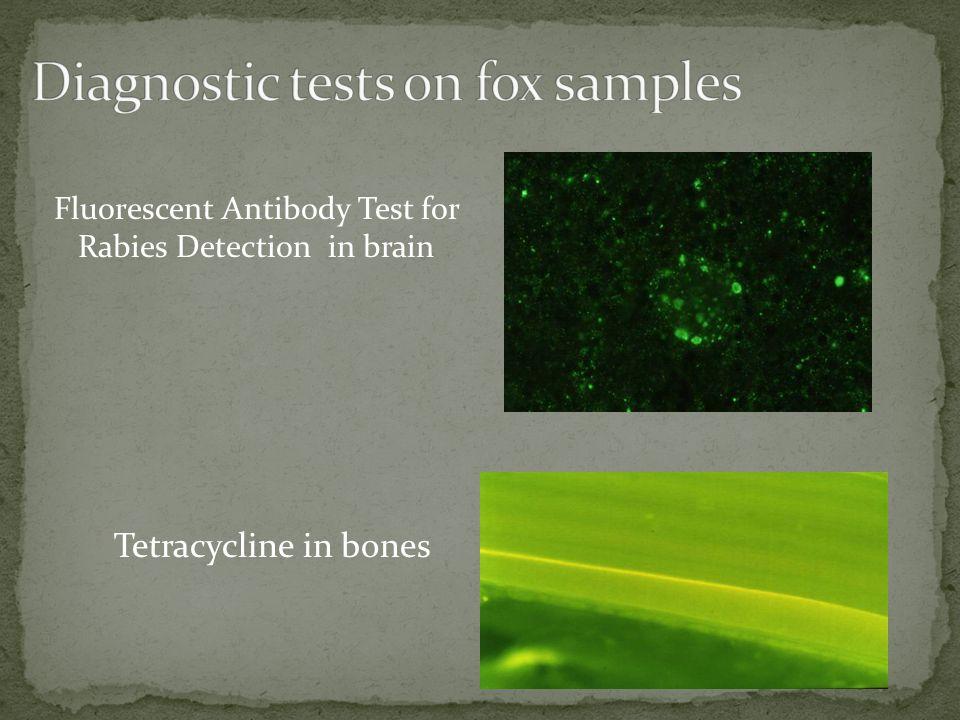 Tetracycline in bones Fluorescent Antibody Test for Rabies Detection in brain