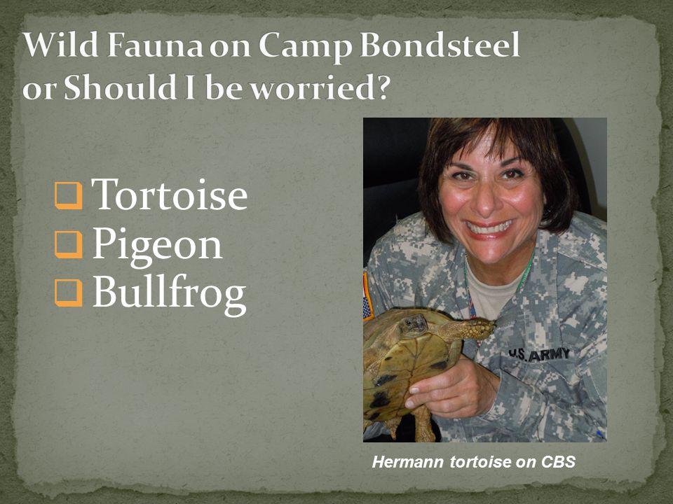  Tortoise  Pigeon  Bullfrog Hermann tortoise on CBS