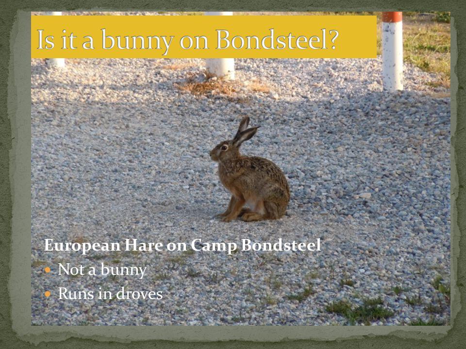 European Hare on Camp Bondsteel Not a bunny Runs in droves