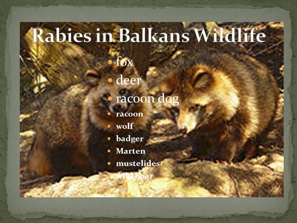 fox deer racoon dog racoon wolf badger Marten mustelides wild boar