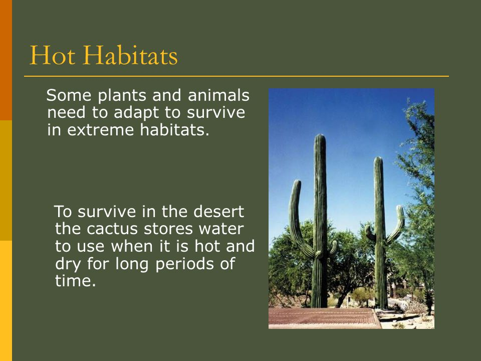 Hot Habitats Some plants and animals need to adapt to survive in extreme habitats. To survive in the desert the cactus stores water to use when it is