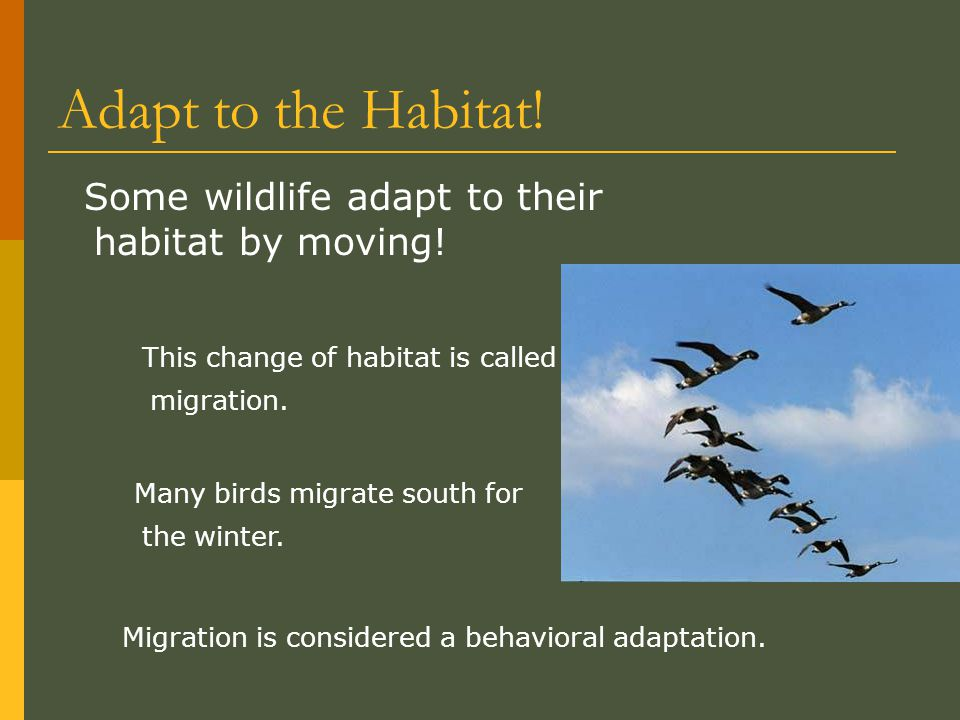 Adapt to the Habitat! Some wildlife adapt to their habitat by moving! Migration is considered a behavioral adaptation. This change of habitat is calle
