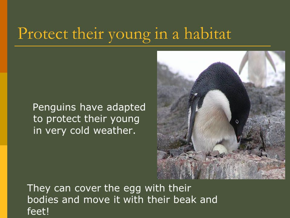 Protect their young in a habitat Penguins have adapted to protect their young in very cold weather. They can cover the egg with their bodies and move
