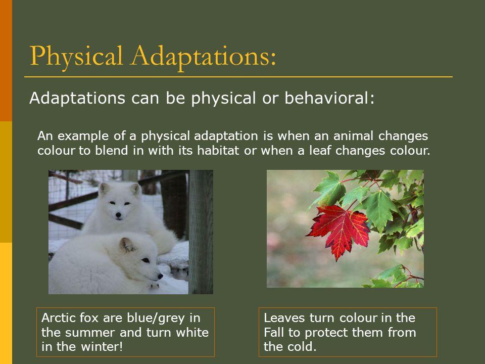 Physical Adaptations: Adaptations can be physical or behavioral: Arctic fox are blue/grey in the summer and turn white in the winter! An example of a