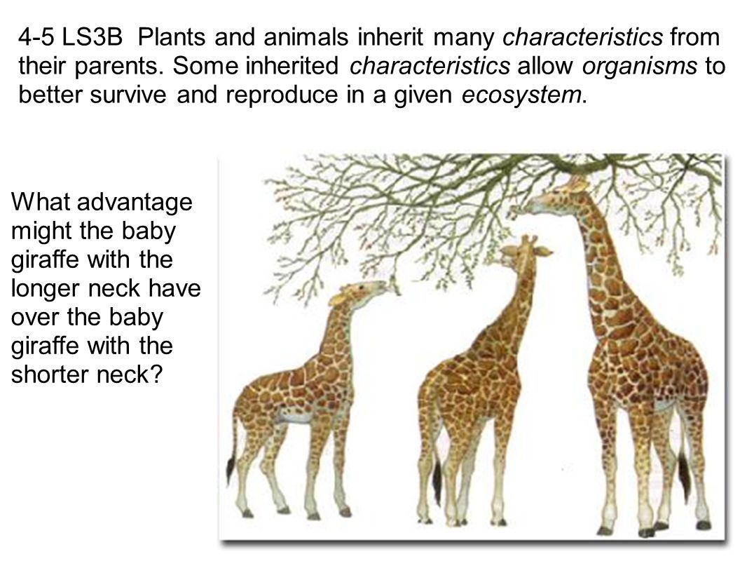Communicate that plants and animals inherit many characteristics (e.g., color of a flower or number of limbs at birth) from the parents of the plant or animal.