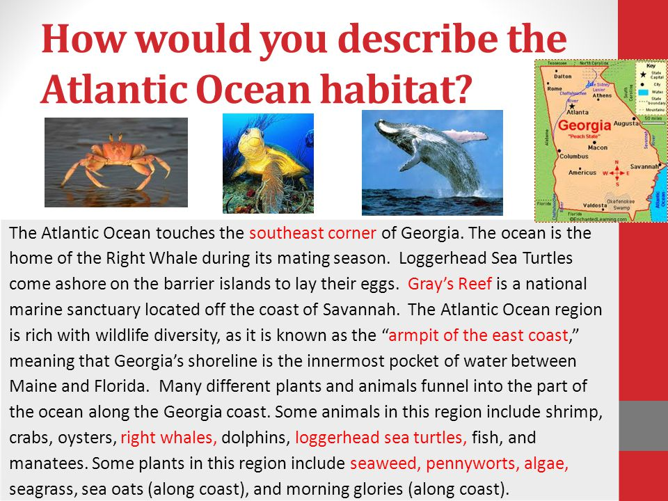 How would you describe the Atlantic Ocean habitat? The Atlantic Ocean touches the southeast corner of Georgia. The ocean is the home of the Right Whal