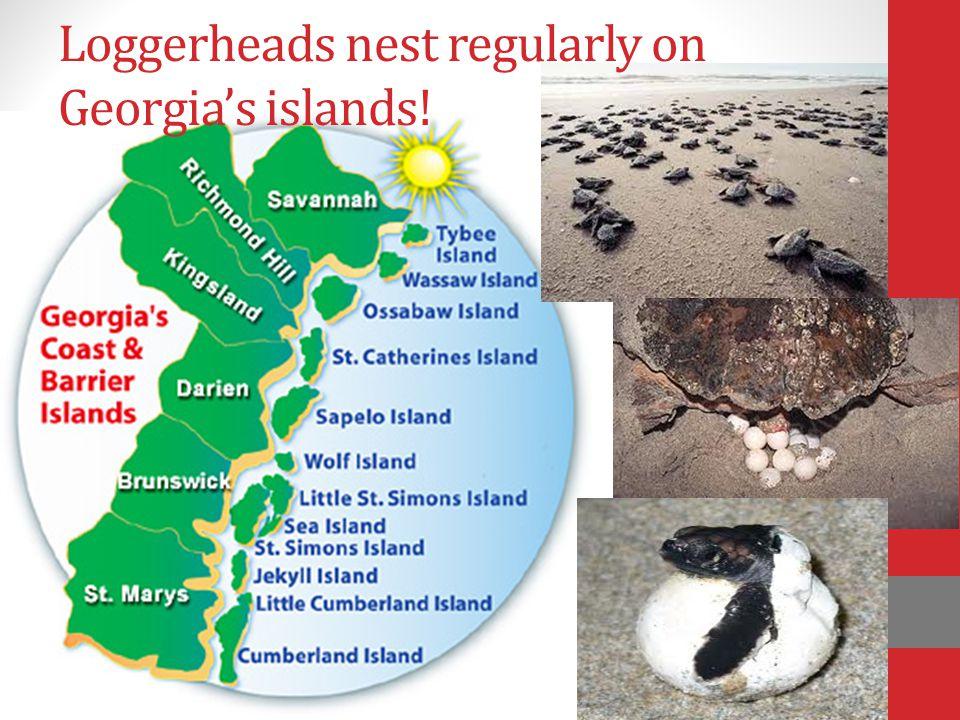 Loggerheads nest regularly on Georgia's islands!