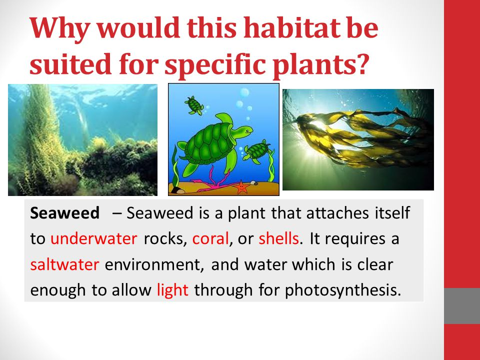 Why would this habitat be suited for specific plants? Seaweed – Seaweed is a plant that attaches itself to underwater rocks, coral, or shells. It requ