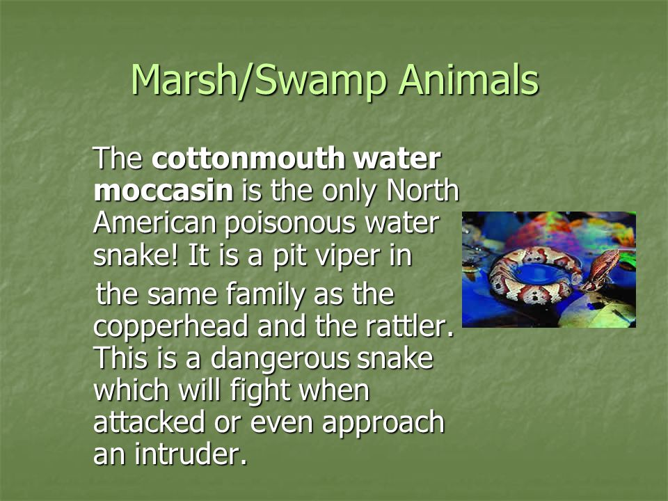 Marsh/Swamp Animals The cottonmouth water moccasin is the only North American poisonous water snake! It is a pit viper in The cottonmouth water moccas