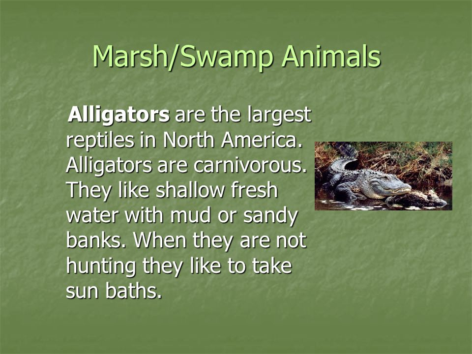 Marsh/Swamp Animals Alligators are the largest reptiles in North America. Alligators are carnivorous. They like shallow fresh water with mud or sandy