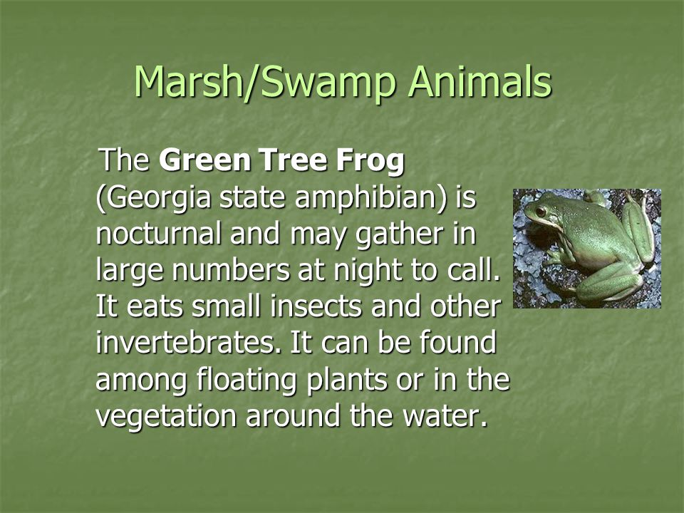 Marsh/Swamp Animals The Green Tree Frog (Georgia state amphibian) is nocturnal and may gather in large numbers at night to call. It eats small insects