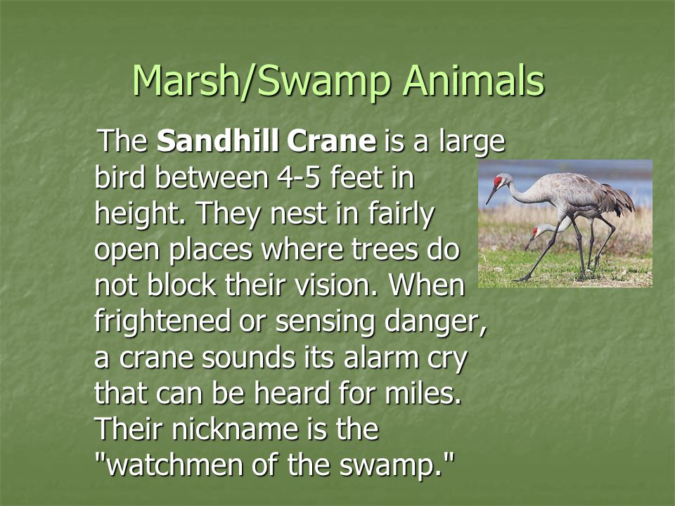 Marsh/Swamp Animals The Sandhill Crane is a large bird between 4-5 feet in height. They nest in fairly open places where trees do not block their visi